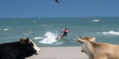 Zwei Kühe beobachten eine Kite-Surferin vor einem Strand in Montenegro
