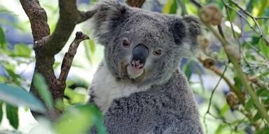 Koala - Unsere Tiere