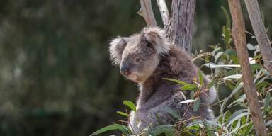 Drei Milliarden Tiere von Buschbränden in Australien betroffen