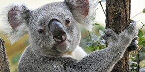 Mehr als 2.000 Koalas im Feuer umgekommen