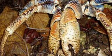 krabbe.jpg
