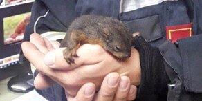 Baby-Eichhörnchen aus umgestürztem Baum gerettet