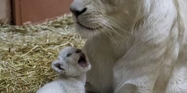 Eine weiße Löwin aus einem ukrainischen Privatzoo zeigt stolz eines ihrer Babys