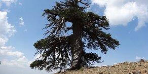 Das ist der älteste Baum Europas