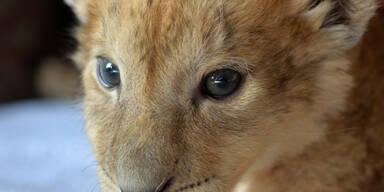 Das verstoßene Löwenbaby Malor wird jetzt von der Zoodirektorin aufgezogen