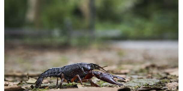 Umweltschützer schlagen Alarm: Marmorkrebs in heimischen Gewässern