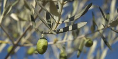 olivenbaum_sxc.jpg
