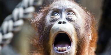 Dieser junge Orang-Utan begeistert das Publikum im Zürcher Zoo