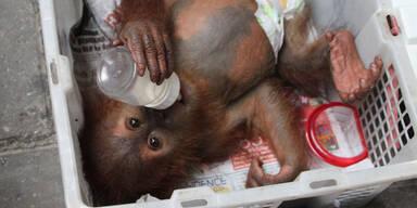 Dieses Orang Utan-Baby wurde aus den Fängen brutaler Tierschmuggler befreit (Indonesien)