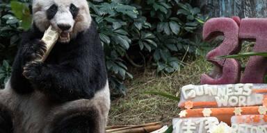 Panda Jia Jia feiert im Zoo von Hong Kong ihren 37. Geburtstag
