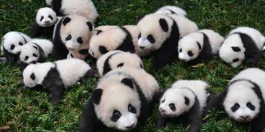 In einer chinesischen Forschungsstation freut man sich gleich über 26 Panda-Babys