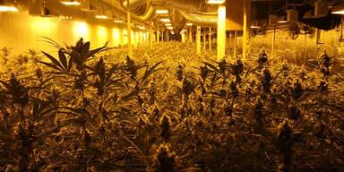 1.420 Hasch-Pflanzen in Ausflugshotel