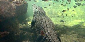 Krokodil tötete Schwimmerin beim Strand