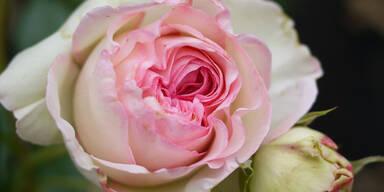 rose_sxc.jpg