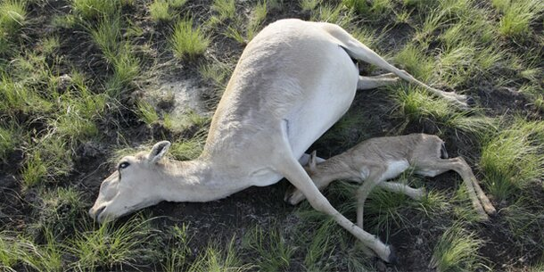 Pest tötet die letzten Saiga-Antilopen