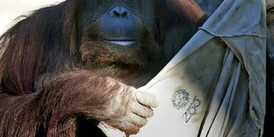 Orang-Utan Sandra zieht um: Nach 20 Jahren im Zoo von Buenos Aires bekommt sie jetzt ein lebenswerteres Zuhause