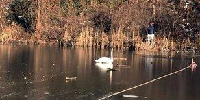 - 10 Grad: Mega-Kälte lässt Schwan in See einfrieren