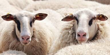 Schock in OÖ: Schafe illegal vor Mehrparteienhaus geschächtet