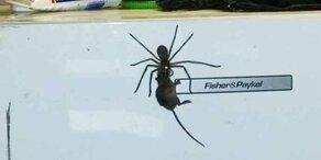Riesen-Spinne erlegt Maus