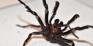 Nach Feuer und Flut: Invasion der Giftspinnen