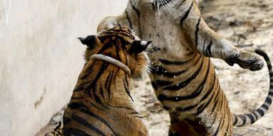 Zwei Tiger spielen in einem Zoo in Thailand miteinander