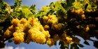 Weinjahr 2016: Kleine Ernte, hohe Qualität