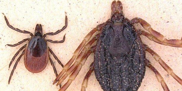 Gefahrliche Riesen Zecke Bringt Neue Krankheit Wetter At