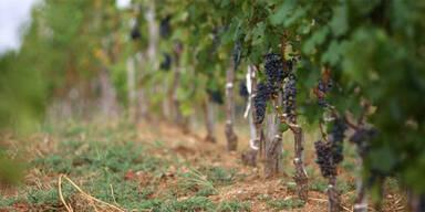 viney12.jpg
