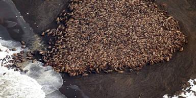 35.000 Walrosse vor Alaska am Strand