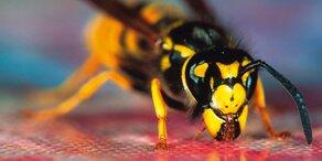Jetzt droht den Steirern eine Wespen-Plage