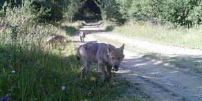 Wölfe werden im Waldviertel heimisch