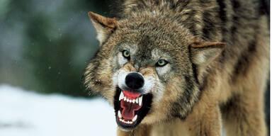 Wolf-Alarm: Fünf Schafe gerissen