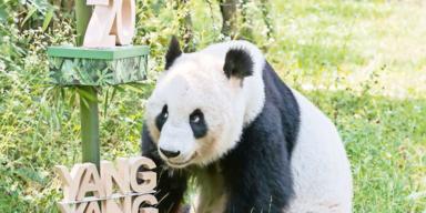 Schönbrunn-Panda Yang Yang feierte 20. Geburtstag